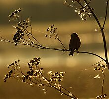 Reed Bunting at Sunrise by Miffy