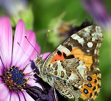 Butterfly on Daisy by yolanda