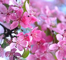 pink crabapples in full bloom at kingwood by 1busymom