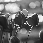 Cyclamen by petejsmith