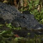 American Alligator - headshot by JimSanders