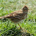 Singing Skylark by Robert Abraham