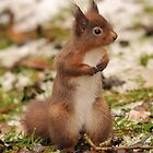red squirrel         searching in the snow by Grandalf