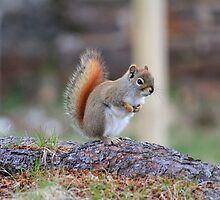 Squirrel by HALIFAXPHOTO
