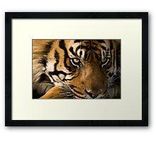 Eye of the  Sumatran Tiger Framed Print