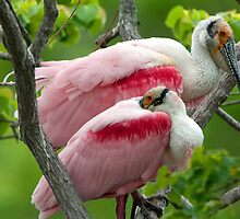 Two Male Roseate Spoonbills by Bonnie T.  Barry