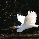 Great Egret in flight by JimSanders