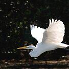 Great Egret in flight by JimSanders