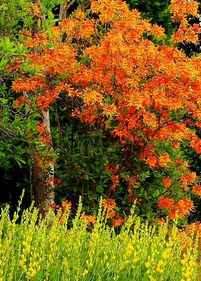 Fire Azalea by Rodney Williams