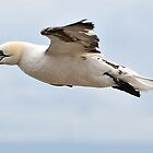 gannet the wind beneath its wings by Grandalf