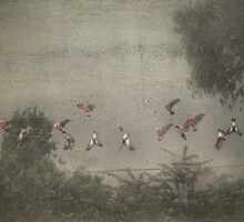 Bathing Galahs by garts