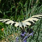 Flying Tiger Swallowtail by Louise Brookes