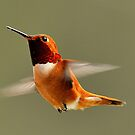 Rufus Humming Bird by Kirk Photography                      Kirk Friederich