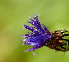 Purple Pineapple King by photodork
