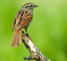 Swamp Sparrow by Wayne Wood