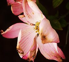 Dogwood blossoms by shilohrachelle