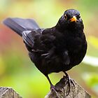 Blackbird by Roger Butterfield