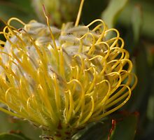 Yellow Protea flower by photojeanic