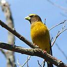 The Evening Grosbeaks are Back!   by maxy