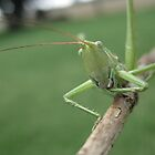 Grasshopper in Australia  by jamestphoto