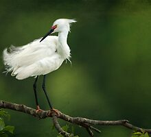 Snowy Egret II by Bonnie T.  Barry