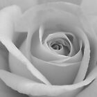 Yellow Rose - Black &amp; White by jenndes