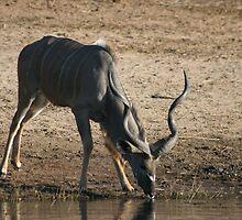 Kudu gotta do- Chobe National Park by Ouzopuppy