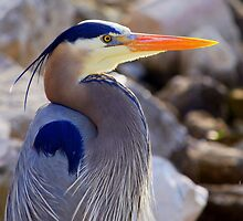 Florida's Great Blue Herron by Colleen Rohrbaugh