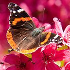 Admiral butterfly on crab apple tree blossoms by Robert Kelch, M.D.