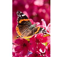 Admiral butterfly on crab apple tree blossoms Photographic Print