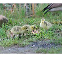Wild Canadian Geese Babies Photographic Print
