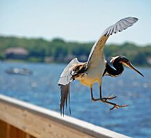 Flying Tri-Color Heron by nauticalelf