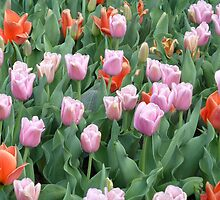 Tulip Bed  by clizzio