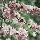 Cherry Blossoms by Lydia Marano