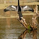 Anhinga, Harris Neck by Jeff Holcombe