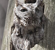 Eastern Screech Owl 02 by DigitallyStill