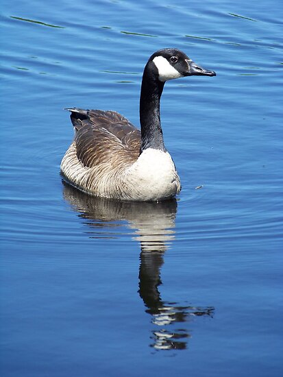 A curious Canada goose. by William Brennan