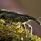 Weevil by jimmy hoffman