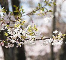 sakura drops. by katieshau