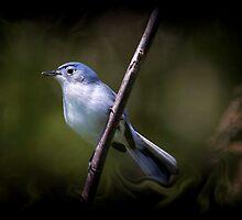 Blue Gray Gnatcatcher 3 by John Absher