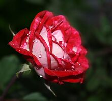 Fresh rose with rain water by YasLalu