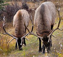 Elk - Vermillion Lakes, Banff  by JamesA1