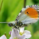 Damaged male Orange Tip by jesika