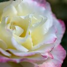 Rose Time- Double Delight by Joy Watson