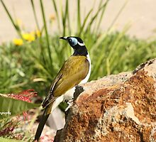 Blue-faced Honeyeater by Edyta Magdalena Pelc
