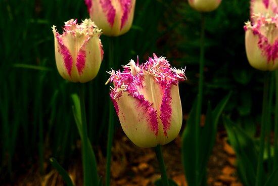 Frilly Tulip (Spring Bulbs) by Trevor Kersley