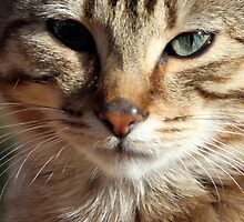 Here's Looking at You - Portrait of a Tabby Cat Kitten by simpsonvisuals