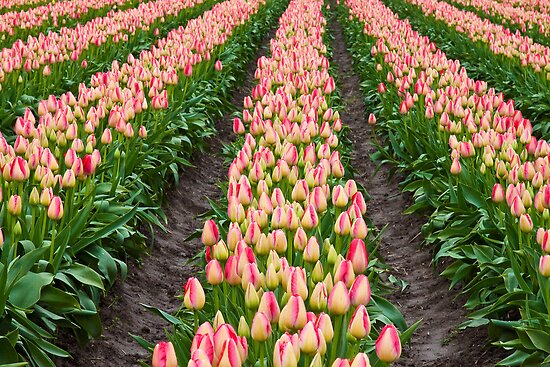 Pretty Tulips all in a Row by Barb White