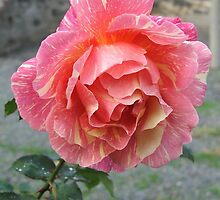 Rose (6357) by ScenerybyDesign