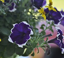 Petunias by Corkle